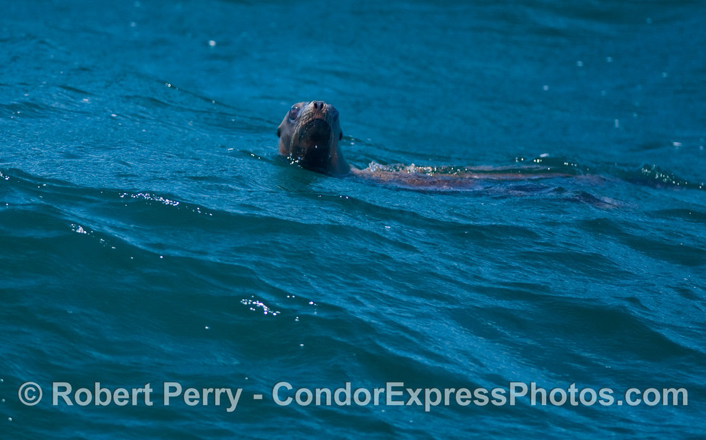 A friendly California Sea Lion (Zalophus californianus).