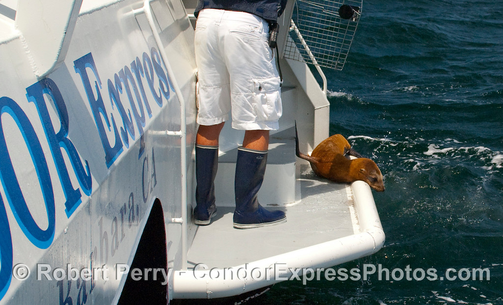First mate, Dennis James, handles the cage and its door as a rehabilitead California Sea Lion pup (Zalophus californianus) is released back into the wild.  This pup had to take a good look at the ocean conditions before leafing the swimstep on the stern of the Condor Express, but it eventually took the plunge.  This was one of two sea lions released today from the care of CIMWI, the Channel Islands Marine And Wildlife Institute.