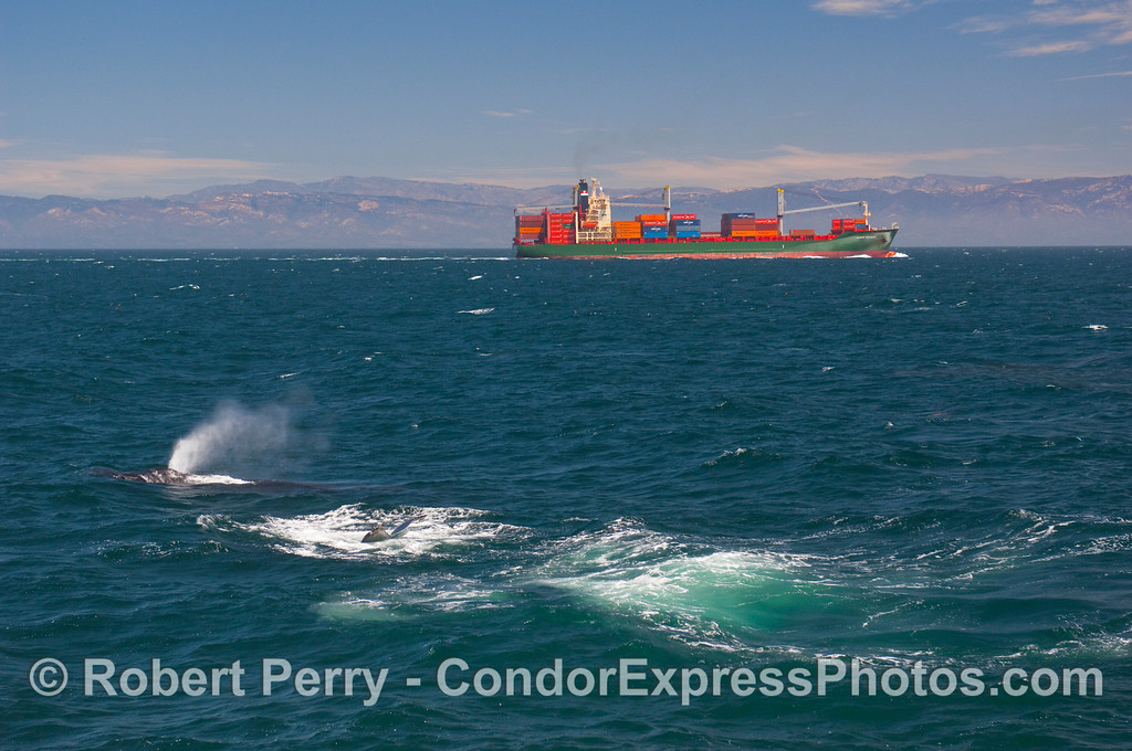 The southbound container ship Albert Rickmers passes close to a couple of Humpback Whales (Megaptera novaeangliae).