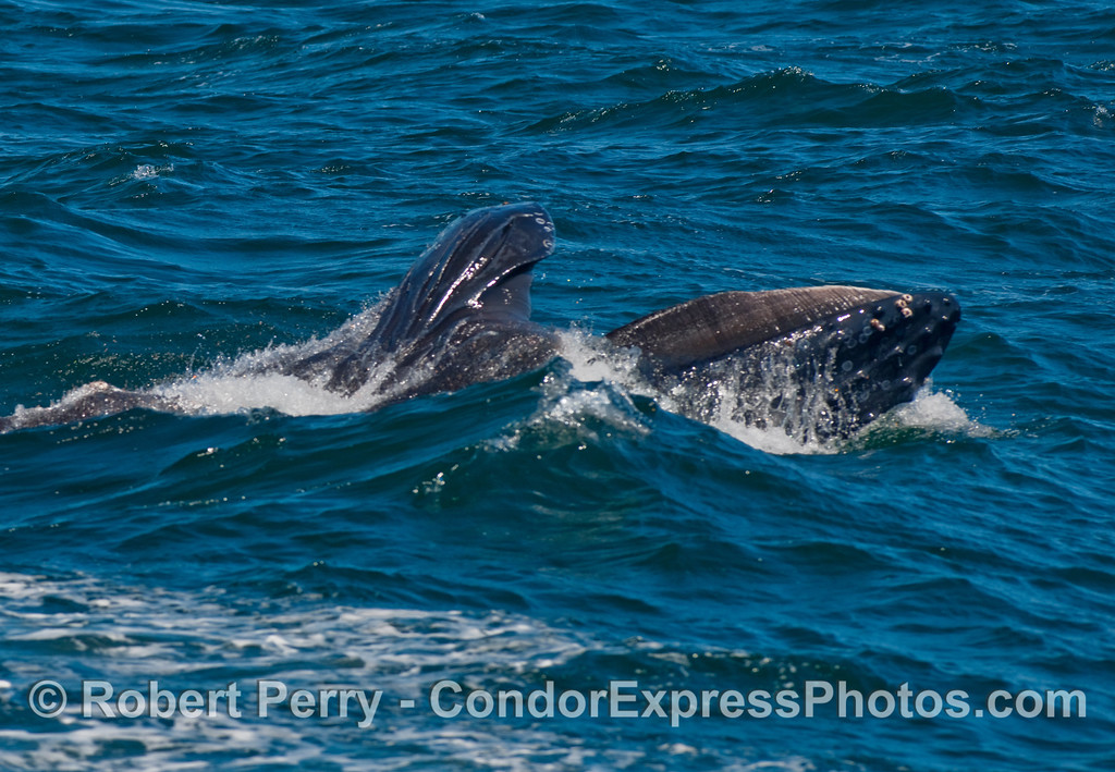 More action from this lunge feeding Humpback (Megaptera novaeangliae).