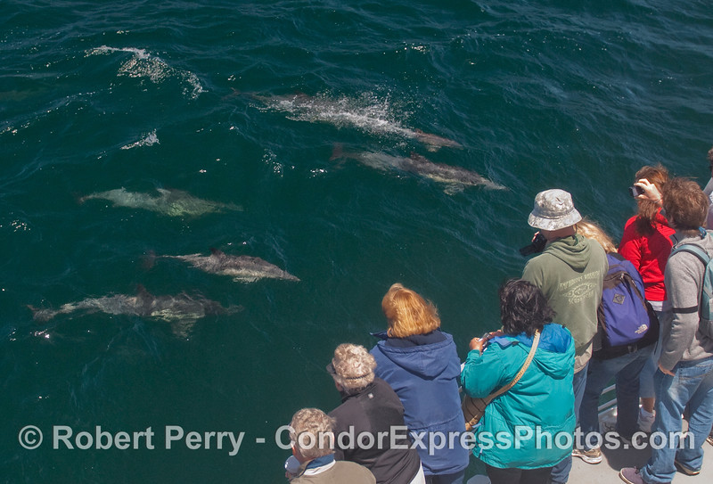Whalers on board the Condor Express greet a herd of Common Dolphins (Delphinus capensis) as they make a friendly approach.