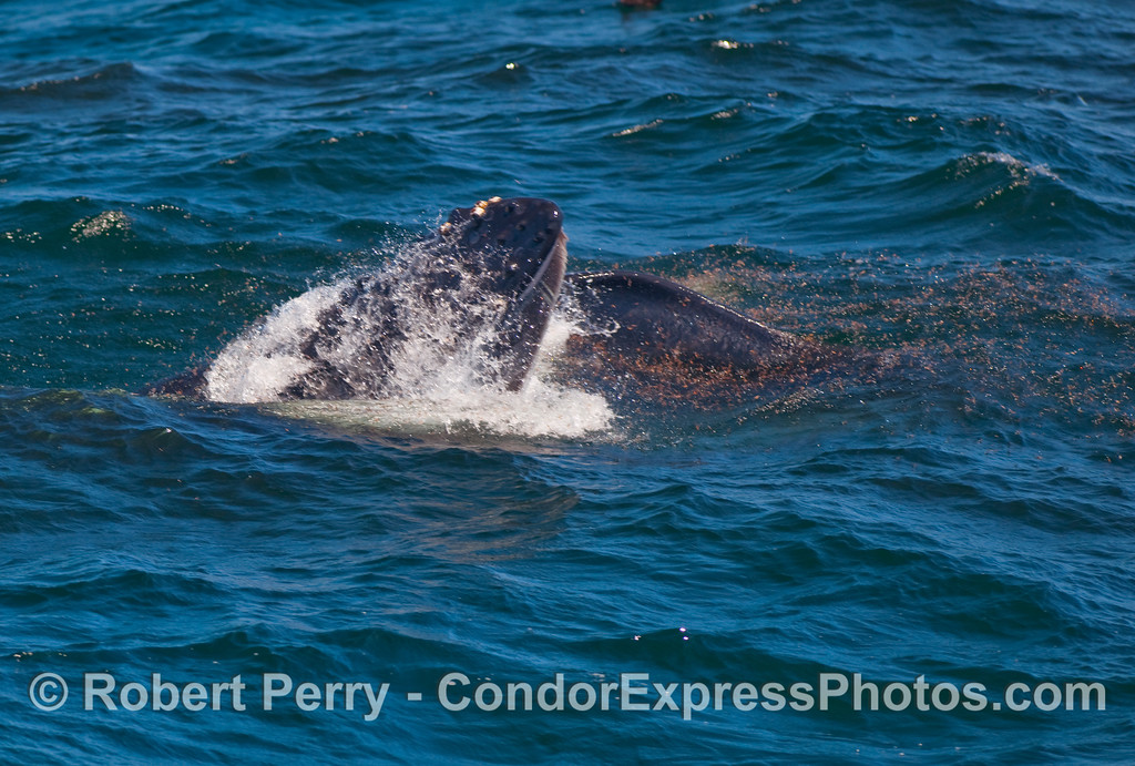 Humpback Whale (Megaptera novaeangliae) chomping on krill.