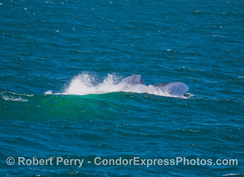 Ball of krill being attacked by a giant Blue Whale (Balaenoptera musculus).  Image 4 in a sequence.
