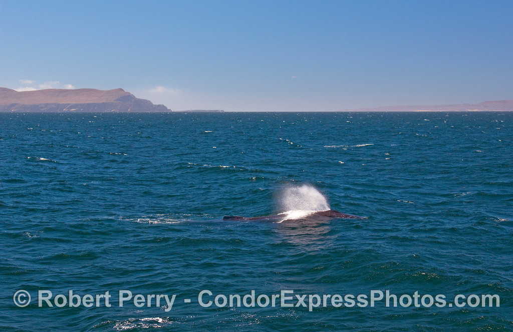 In the distance, behind this spouting Humpback Whale (Megapera novaeangliae), you can see the West End of Santa Cruz Island on your left, and the East End of Santa Rosa Island on your right.