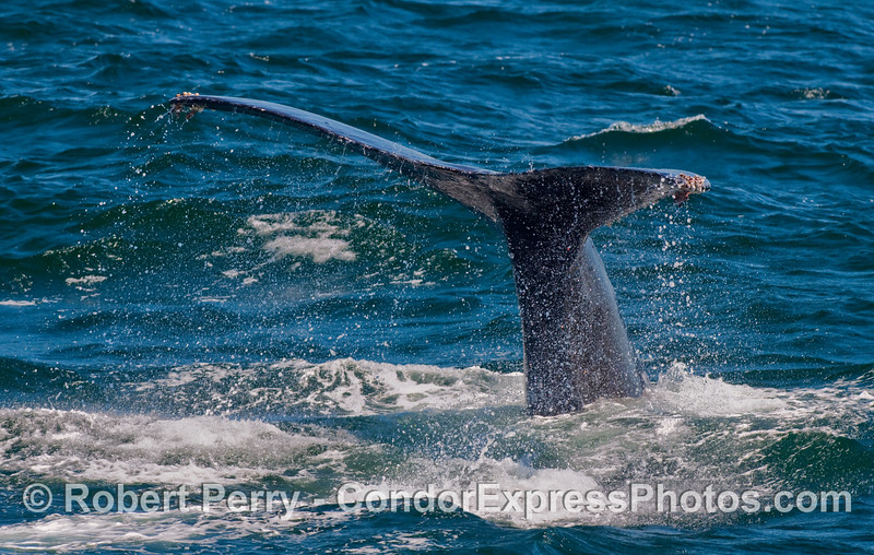 A deeper dive is on the way.  A Humpback Whale (Megaptera novaeangliae) shows its tail flukes.
