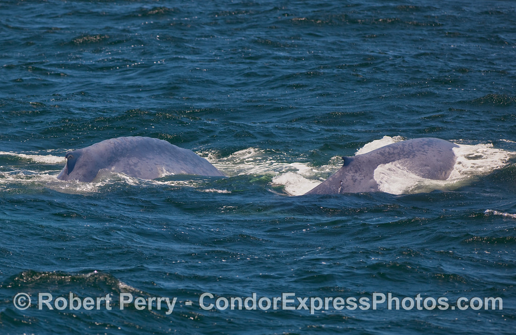 Two Blue Whales (Balaenoptera musculus) are pictured here, a cow and her calf.