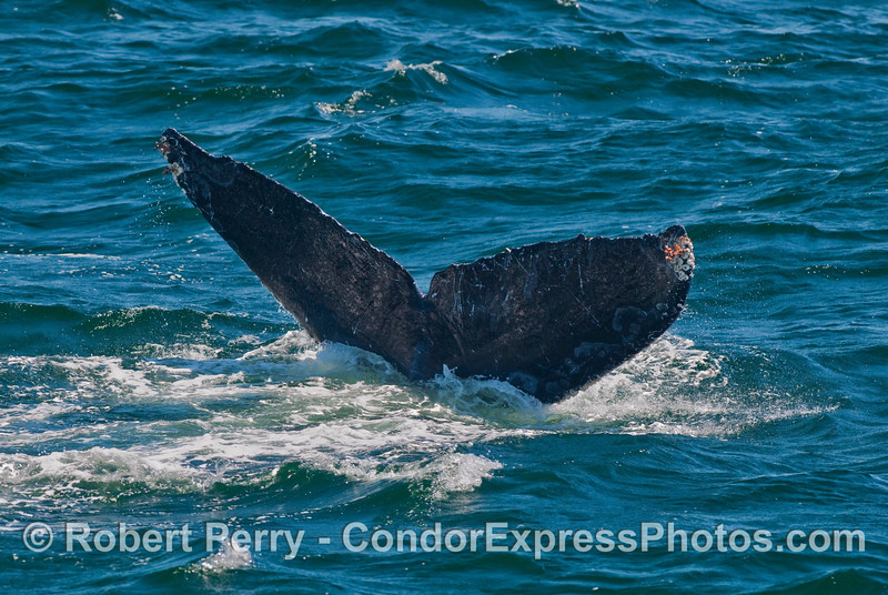 Tail flukes of a Humpback Whale (Megaptera novaeangliae).   Patterns along the margins of the tail and coloration schemes on the under side help identify individual Humpbacks like a fingerprint.