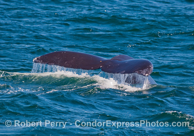 A Humpback Whale (Megapera novaeangliae) lifts its tail flukes.