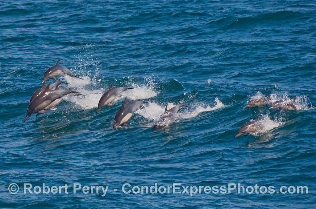 Here they come!  A pod of Common Dolphins (Delphinus capensis) head for the Condor Express.