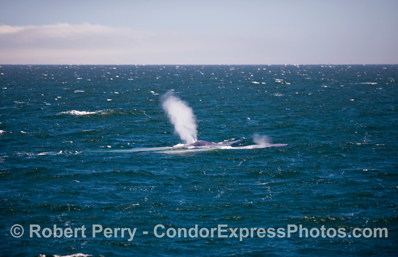 Two Blue Whales (Balaenoptera musculus) head into choppy and windy seas:  a cow-calf pair in the Santa Barbara Channel.