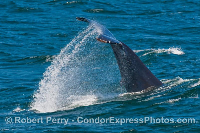 Humpback Whale (Megaptera novaeangliae) tail throw.