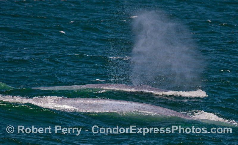 One of several shots taken of this mother Blue Whale (Balaenoptera musculus) and her calf.