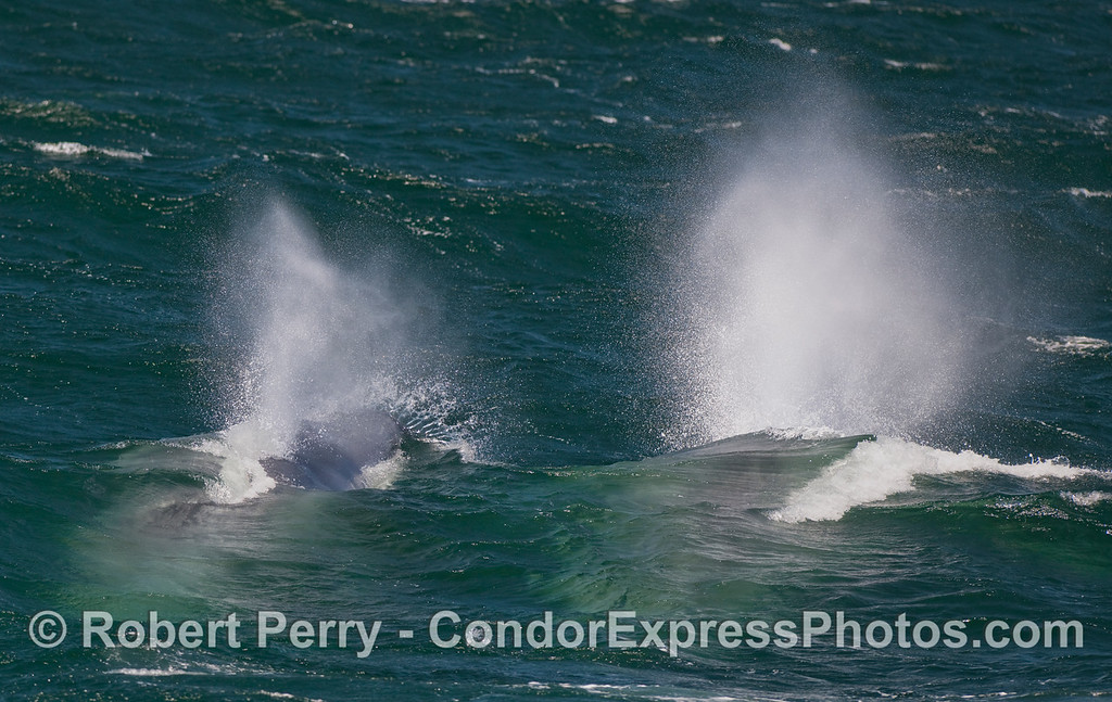 Little spout, big spout:  Blue Whale (Balaenoptera musculus) cow-calf pair.