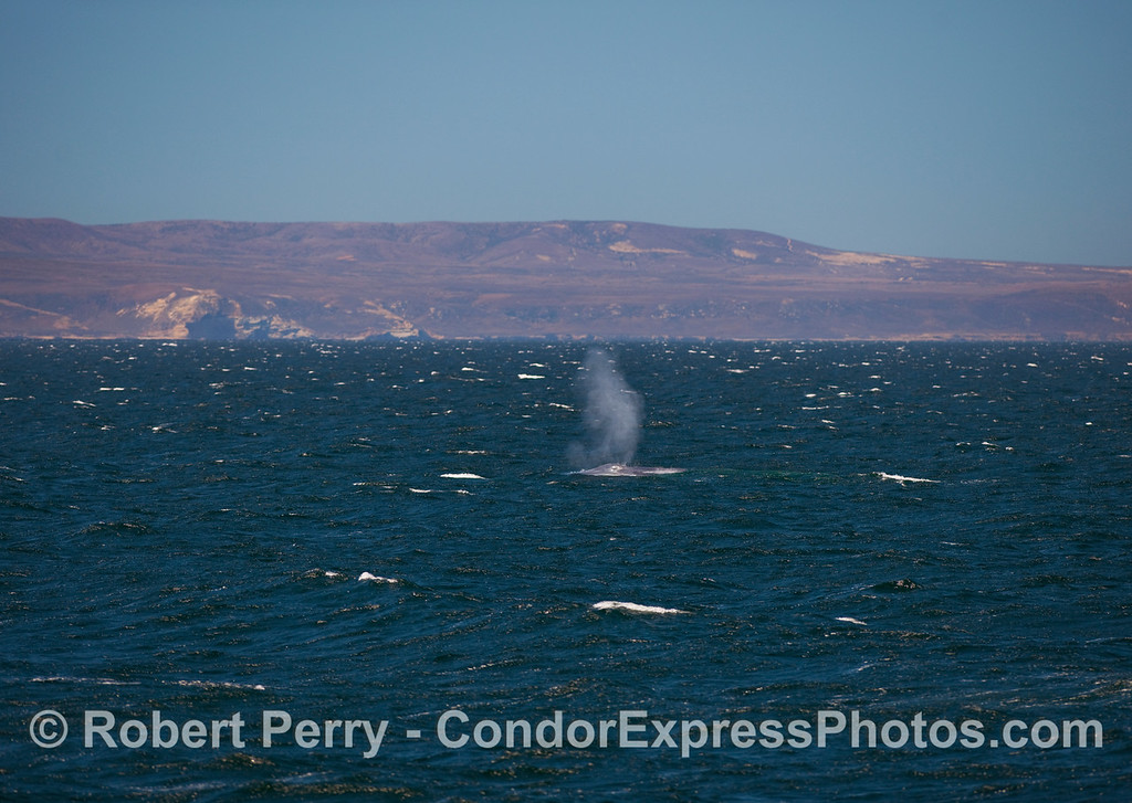 A Blue Whale (Balaenoptera musculus) spouts on a wind blown ocean with Santa Rosa Island in the background.