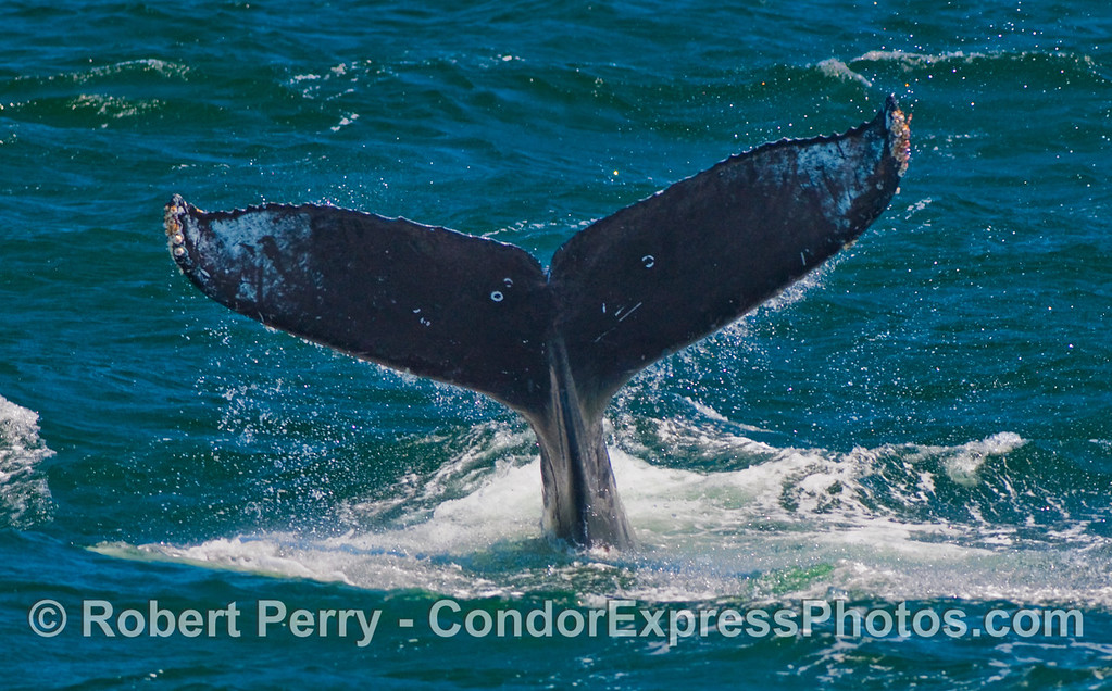 The powerful tail flukes of a Humpback Whale (Megaptera novaeangliae).