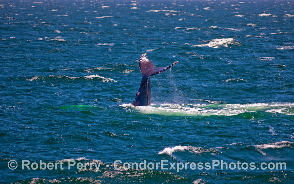 A Humpback Whale (Megaptera novaeangliae) throwing its tail on a very breezy day.