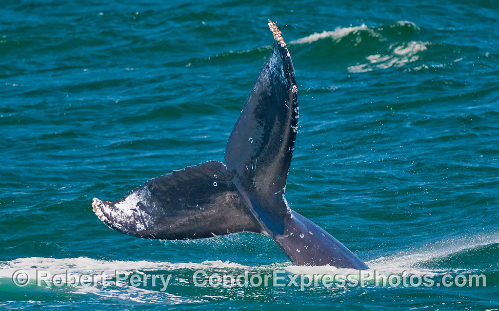 A Humpback Whale (Megaptera novaeangliae) prepares to slam its mighty tail down on the water.