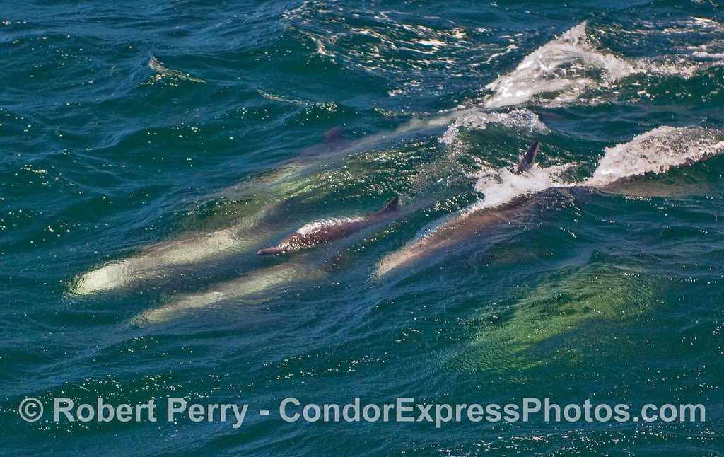 A lone Common Dolphin (Delphinus capensis) spouts and pokes its beak out of the water as it surfs an open ocean wave surrounded by much larger Risso's Dolphins (Grampus griseus).  1 of 2 images.
