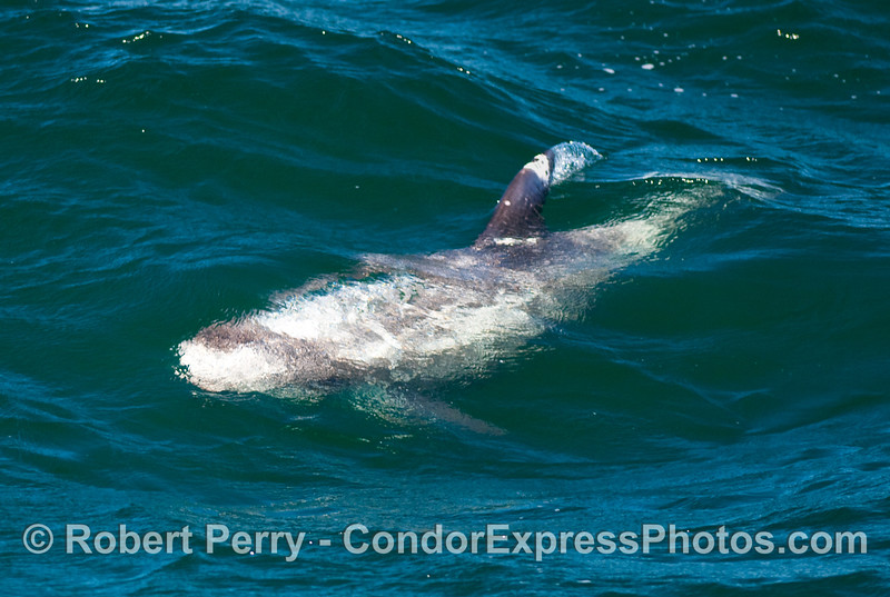 Another Risso's Dolphin (Grampus griseus) under water.