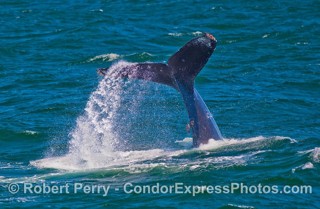 More Humpback Whale (Megaptera novaeangliae) tail throwing.