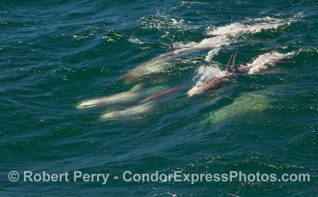 A lone Common Dolphin (Delphinus capensis) can be seen underwater in the middle of much larger Risso's Dolphins (Grampus griseus) as they surf an open ocean wave together.   2 of 2 images.