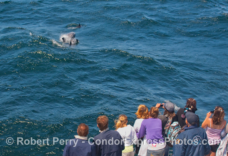 Lucky whalers on the Condor Express see Risso's Dolphin (Grampus griseus) surfing an open ocean wave.