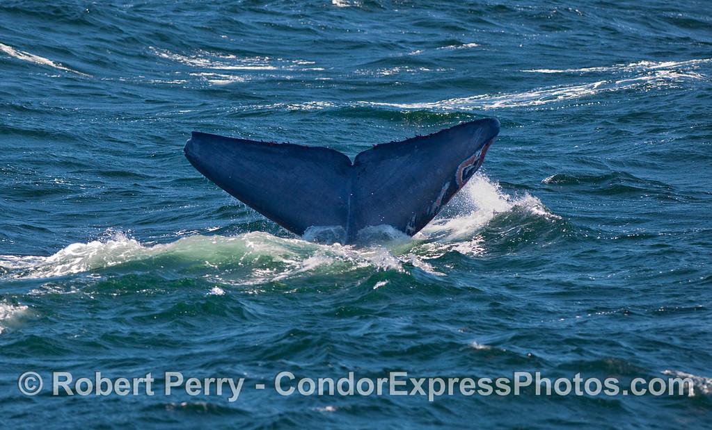 Tail fluke of a Humpback Whale (Megaptera novaengliae).