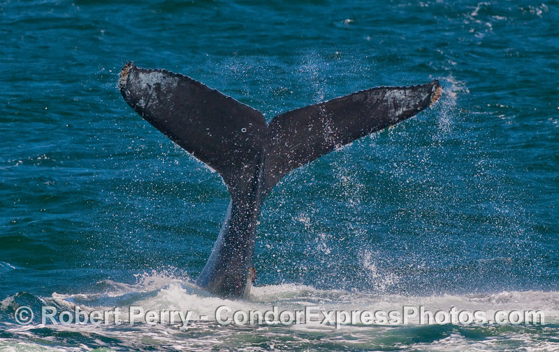 A Humpback Whale (Megaptera novaeangliae) runs amok...throwing its tail around wildly.