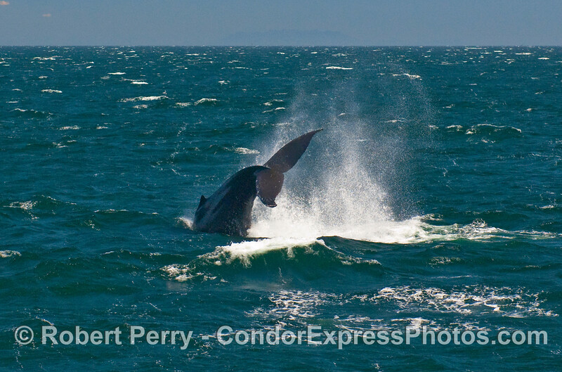 A large male Humpback Whale (Megaptera novaeangliae) throws its tail to impress the whalers on board the Condor Express.