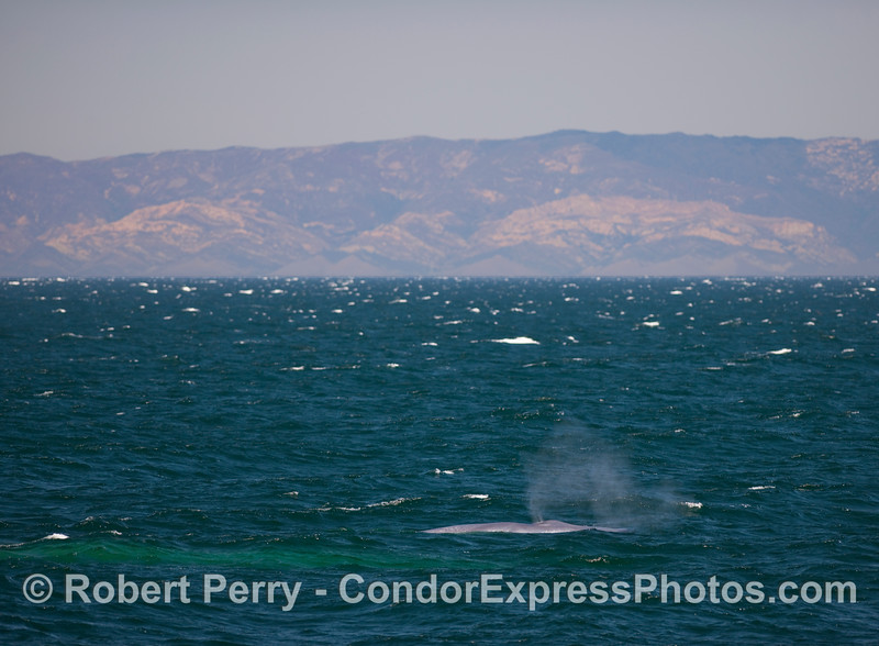 Two Blue Whales (Balaenoptera musculus), one up and one underwater, with breezy conditions in the Santa Barbara Channel.  The mainland Santa Ynez Mountains are visible in the back.