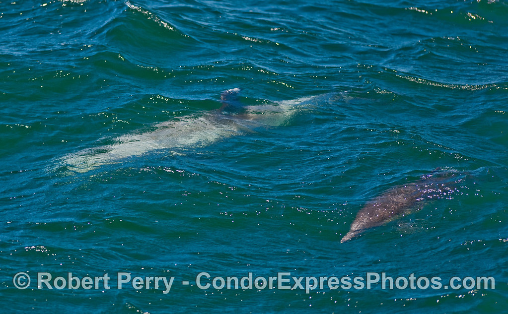 A Risso's Dolphin (Grampus griseus) and a Common Dolphin (Delphinus capensis) surf a small open ocean wave together.
