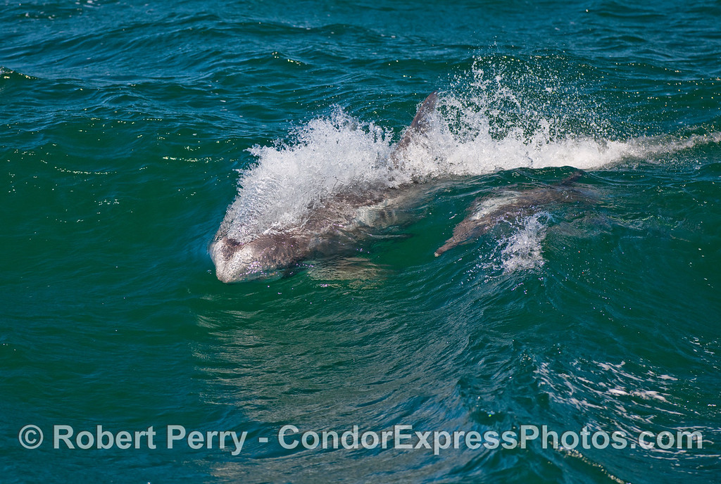 Bodysurfin' buddies:  A Risso's Dolphin (Grampus griseus) and a Common Dolphin (Delphinus capensis).