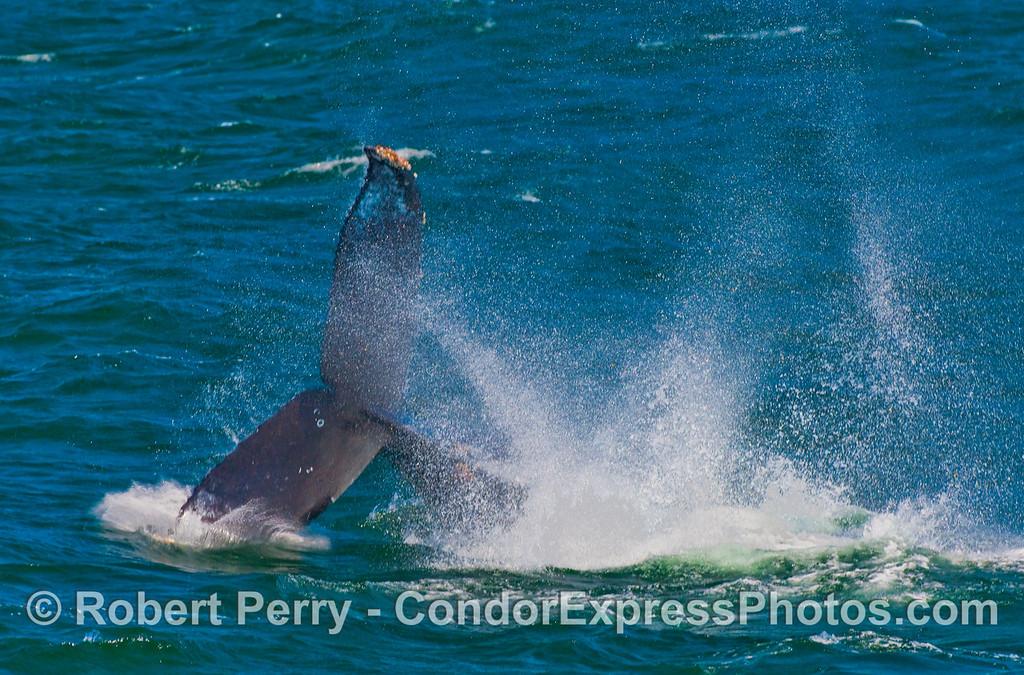 Sideways Humpback Whale (Megaptera novaeangliae) tail throwing.