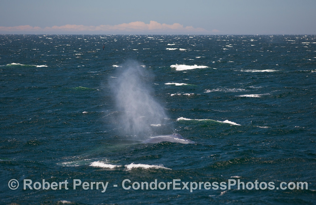 A giant Blue Whale (Balaenoptera musculus) ploughs ahead into rough seas.