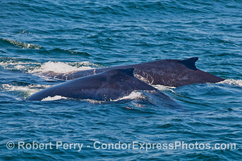 Mother and calf, side by side, Humpback Whales (Megaptera novaeangliae).