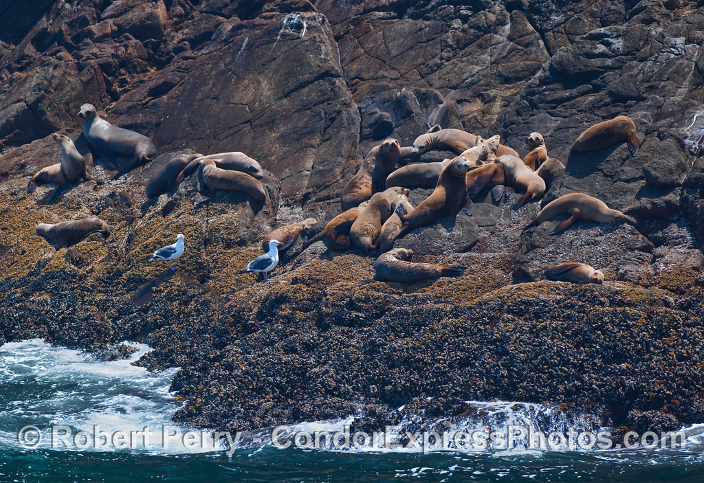 California Sea Lions (Zalophus californianus) resting on the warm rocky ledges of Santa Cruz Island.