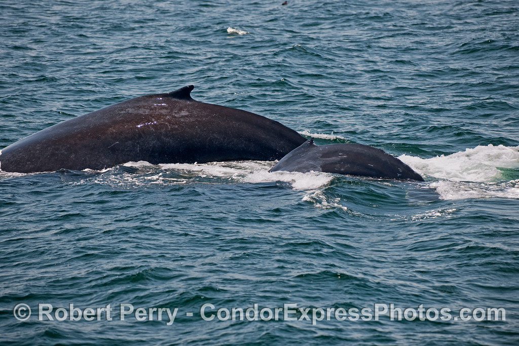 A good look at the disproportionate size between mother and her calf Humpback Whale (Megaptera novaeangliae).