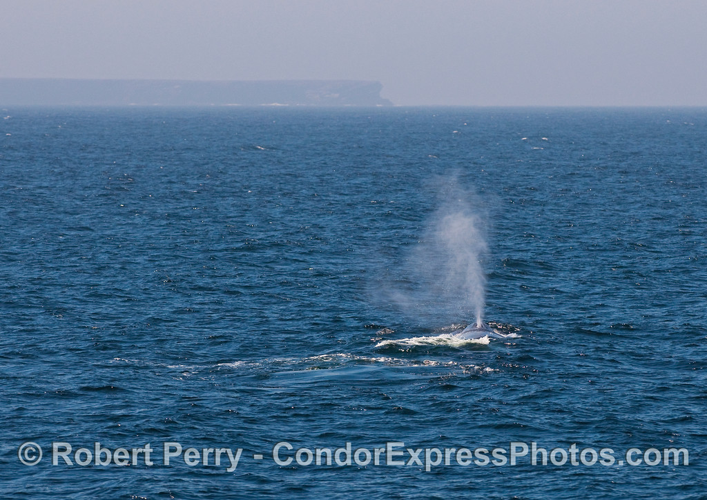 Blue Whale (Balaenoptera musculus) spouting with Frasier Point, Santa Cruz Island in the back.