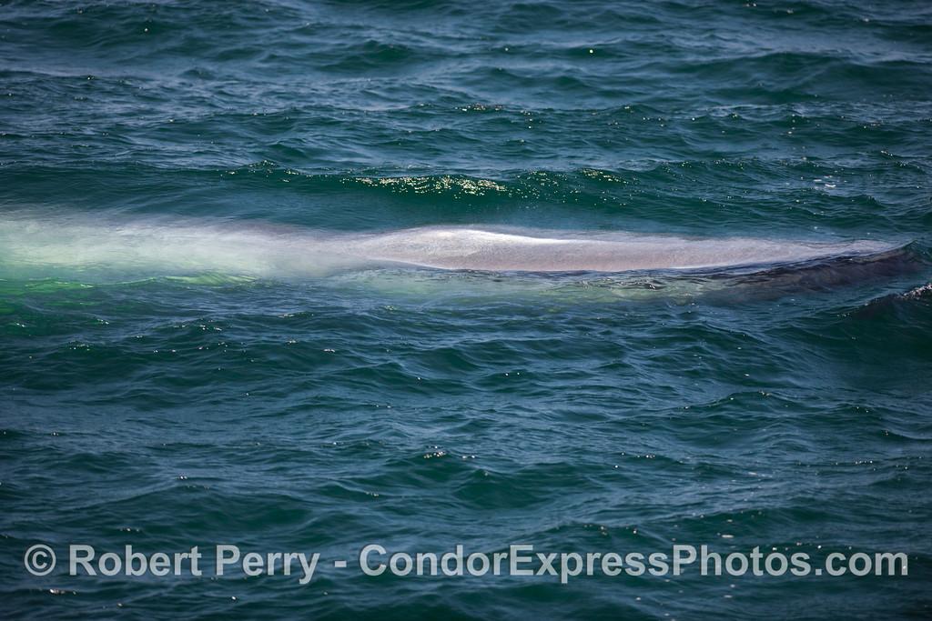 Sleak, almost alligatorlike, head of a Blue Whale (Balaenoptera musculus).