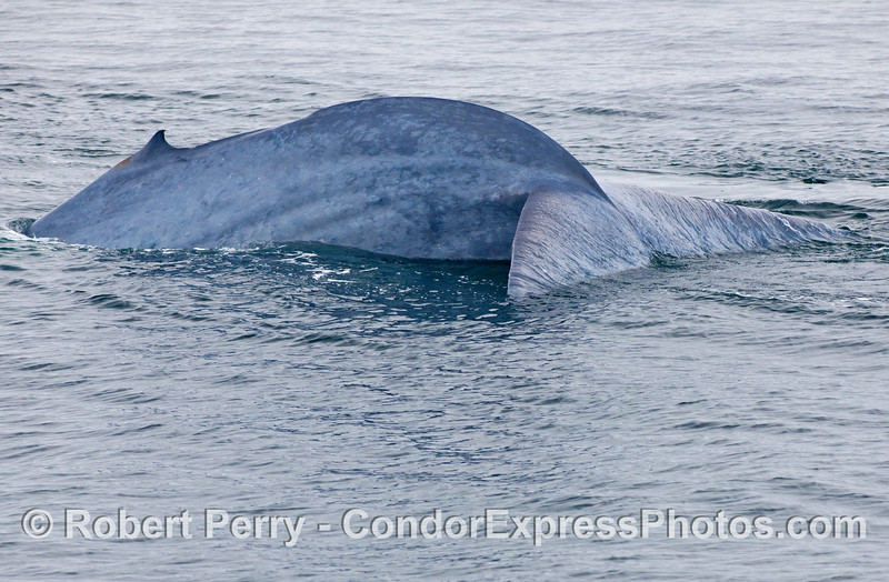 Side view of a Blue Whale (Balaenoptera musculus) tail.