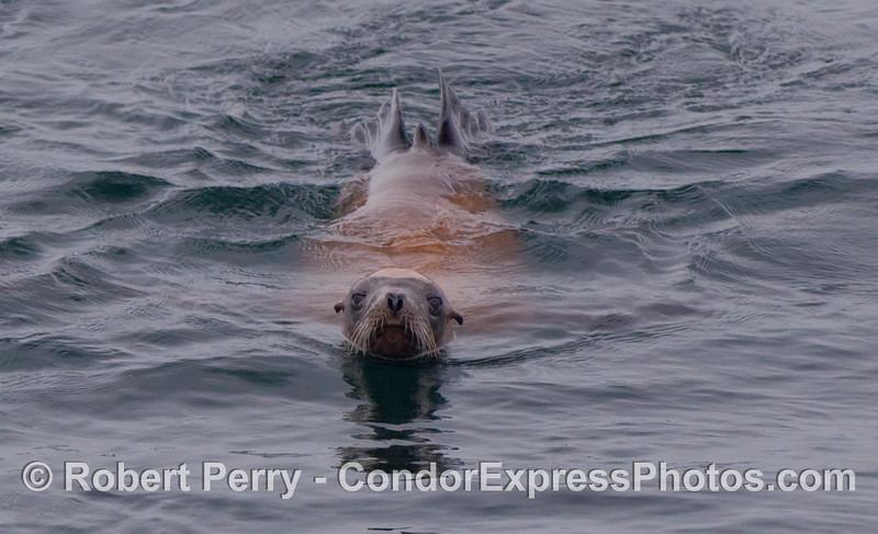 A California Sea Lion (Zalophus californianus) head-on view.