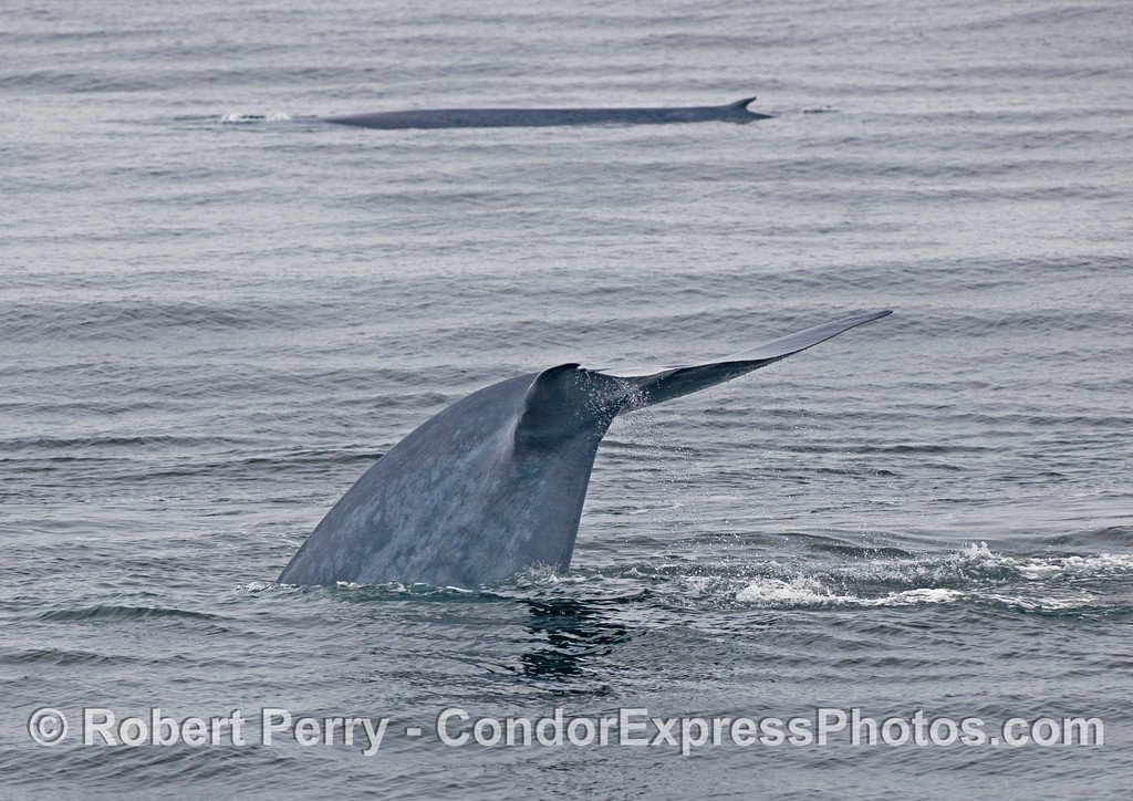 Two Blue Whales (Balaenoptera musculus), one diving deep.