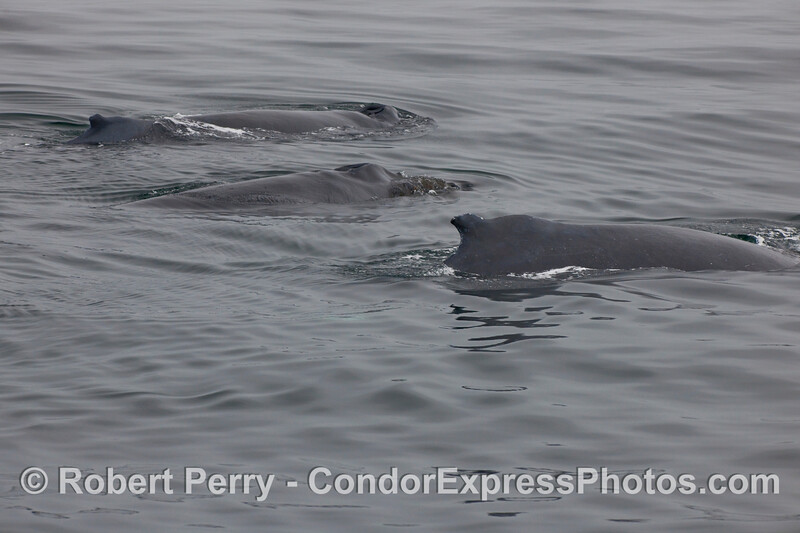 Three Humpback Whales (Megaptera novaeangliae) side by side.