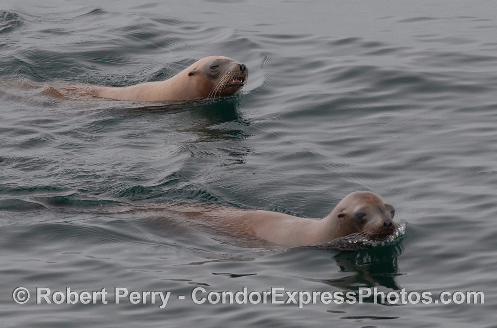Two California Sea Lions (Zalophus californianus) swim by the Condor Express.