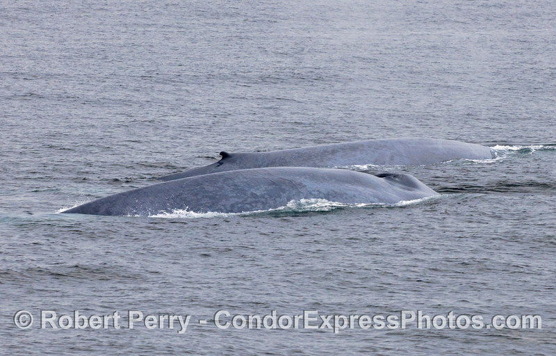 Two Blue Whales (Balaenoptera musculus) on the surface, side by side.