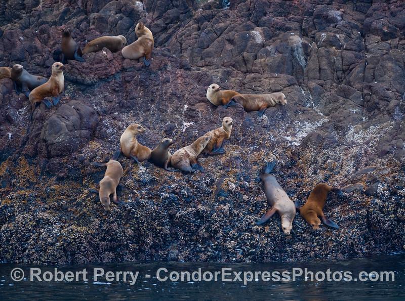 California Sea Lions (Zalophus californianus) resting on a rocky ledge at Santa Cruz Island.