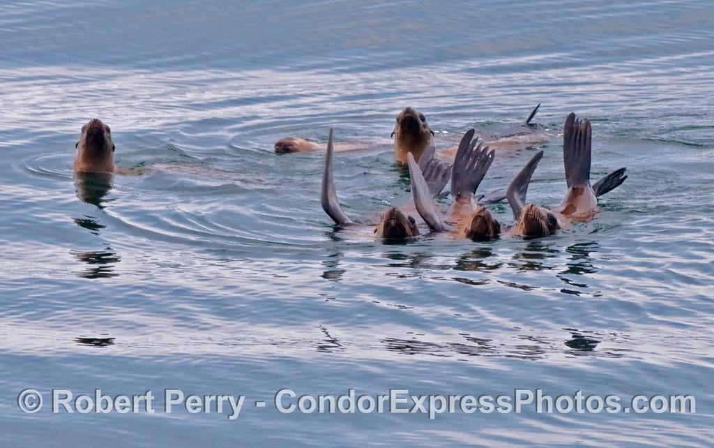 Six California Sea Lions (Zalophus californianus) rafting on a glassy ocean.