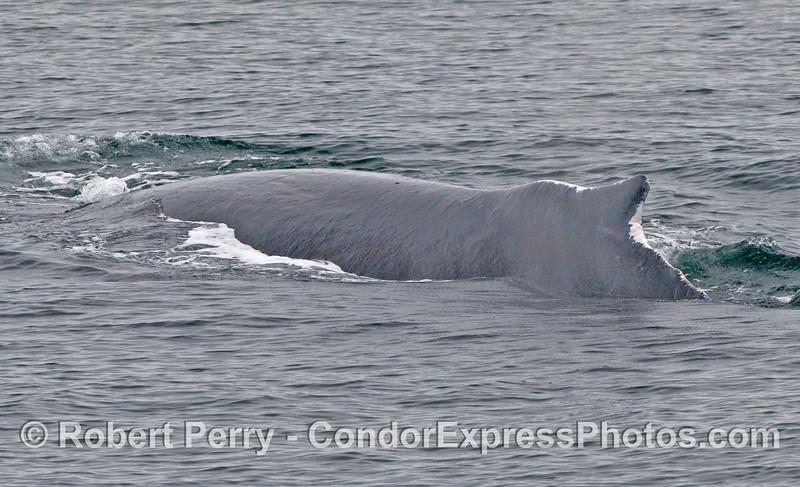Humpback Whale (Megaptera novaeangliae) left side.