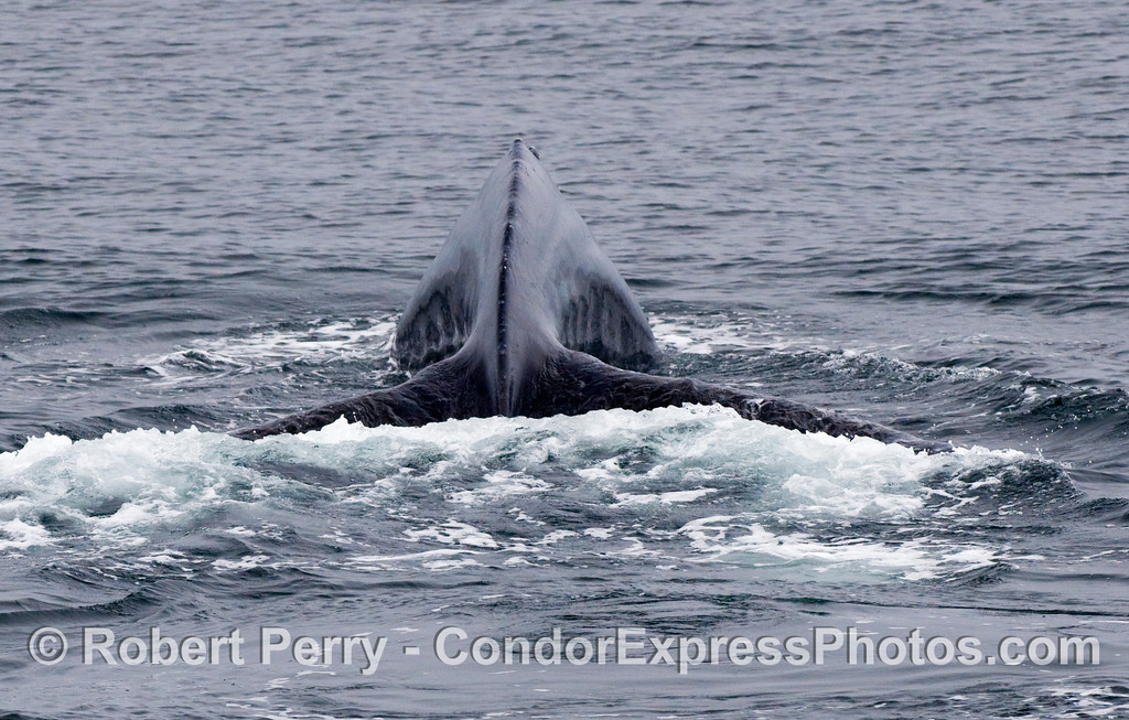 Posterior view of a Blue Whale (Balaenoptera musculus) arching its back and preparing to dive deep.
