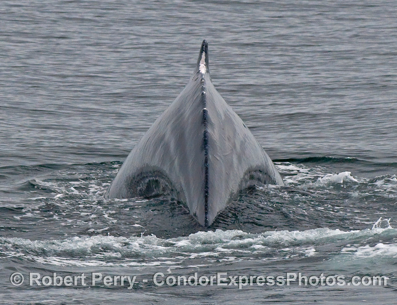 Posterior view of a Humpback Whale (Megaptera novaeangliae) arching its back and preparing for a deep dive.